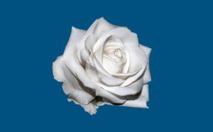 Weiße Rose Symbol für friedlichen Widerstand